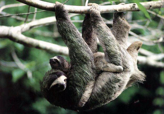 These are pictures of sloth moms with their babies.